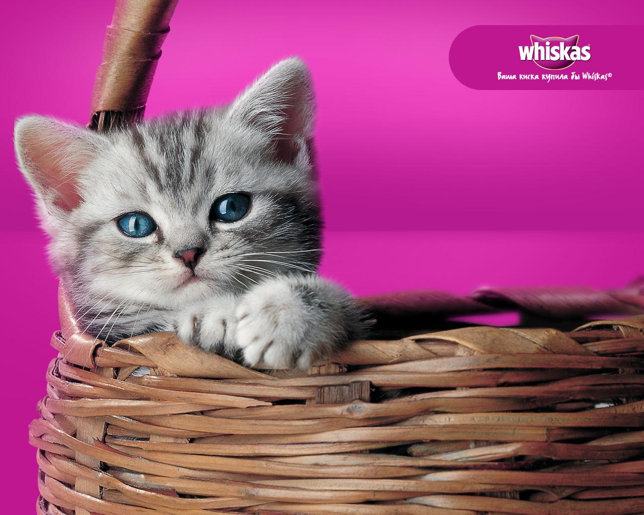 Безкоштовний Whiskas для вашого кошеняти